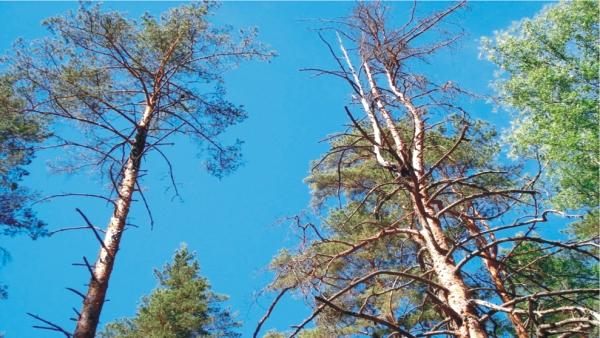 пораженные деревья сосны