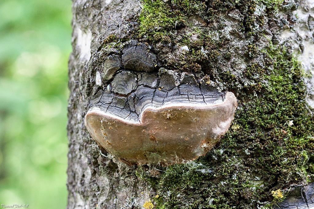 Трутовик ложный осиновый на дереве